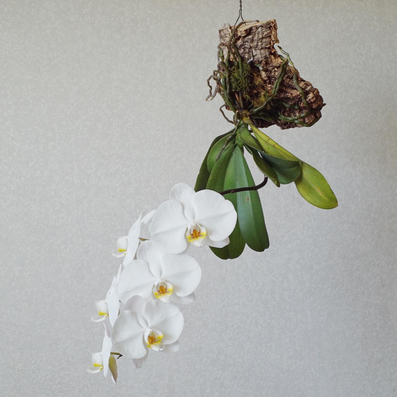 続・見た目にも美しい。着生蘭「コルク付け」のススメ – 胡蝶蘭でやってみました –