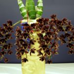"""特徴的なバルブと花で話題の """"タケノコ系"""" を学ぶ育てる -その1-"""